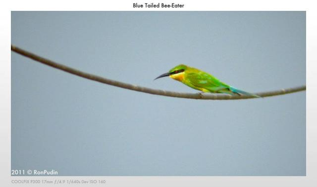 image 6481 of Blue-tailed Bee-eater