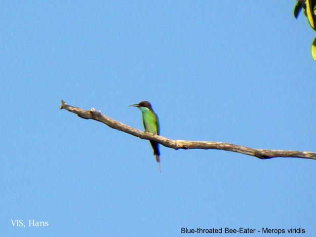 image 5601 of Blue-throated Bee-eater