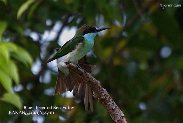 image 5869 of Blue-throated Bee-eater
