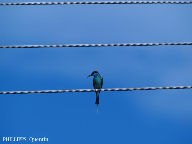 image 3952 of Blue-throated Bee-eater