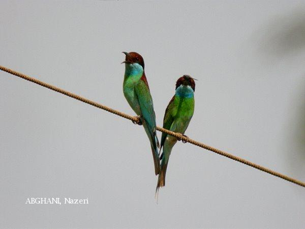 image 4734 of Blue-throated Bee-eater