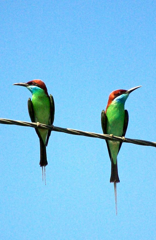 image 6593 of Blue-throated Bee-eater