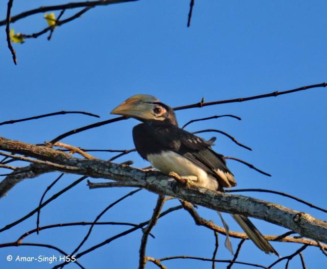 image 7707 of Oriental Pied Hornbill