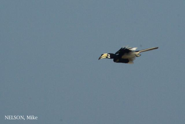 image 6368 of Oriental Pied Hornbill