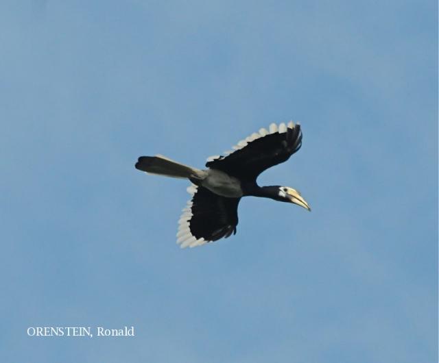 image 5166 of Oriental Pied Hornbill