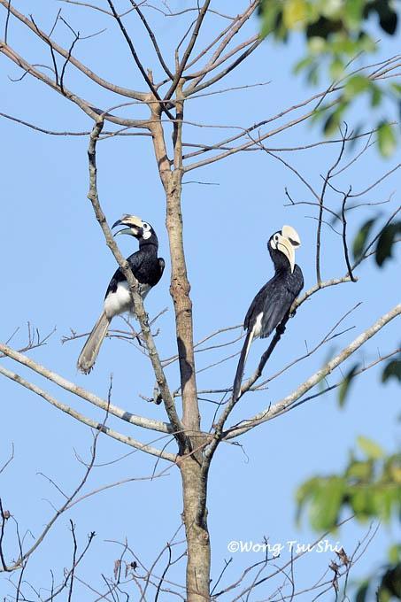 image 886 of Oriental Pied Hornbill