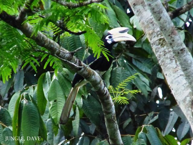 image 7940 of Oriental Pied Hornbill