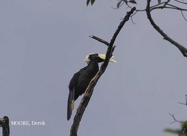 image 5466 of Black Hornbill