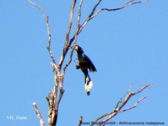 image 5606 of Black Hornbill
