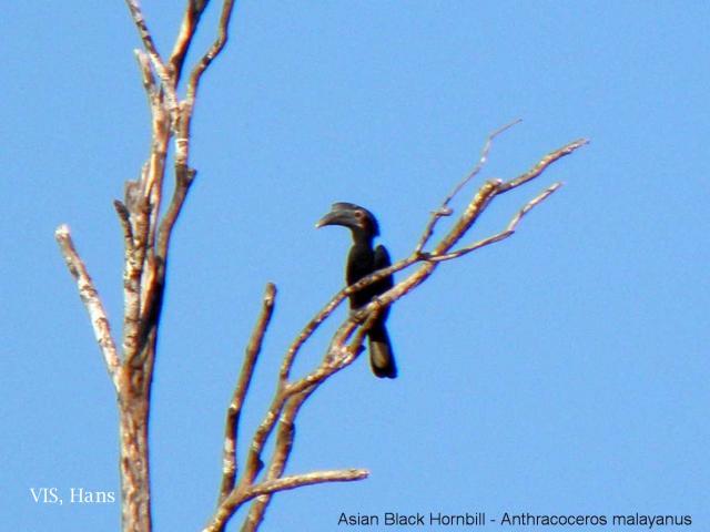 image 5607 of Black Hornbill