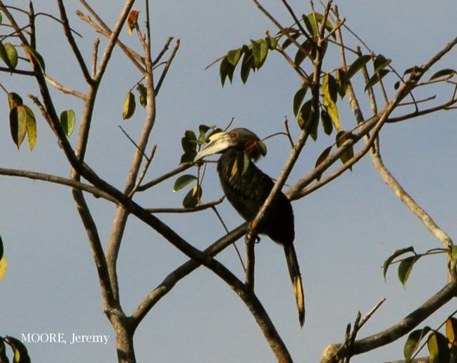 image 4666 of Black Hornbill