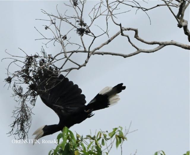 image 5114 of Black Hornbill