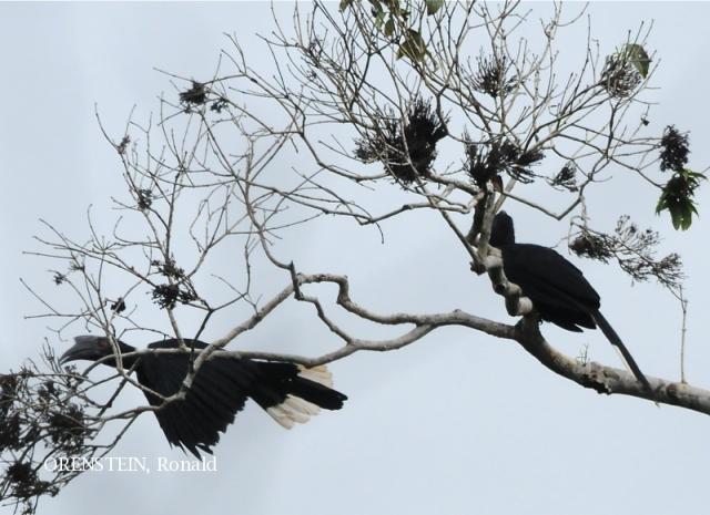image 5115 of Black Hornbill