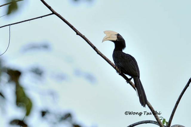 image 888 of Black Hornbill