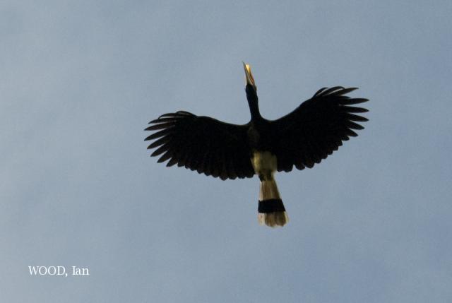 image 5040 of Rhinoceros Hornbill
