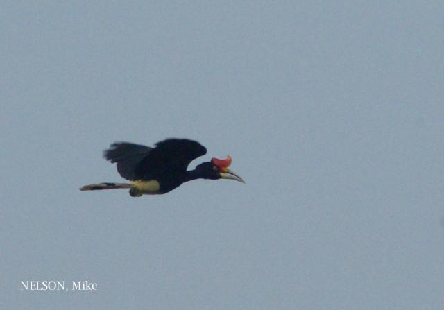 image 6372 of Rhinoceros Hornbill