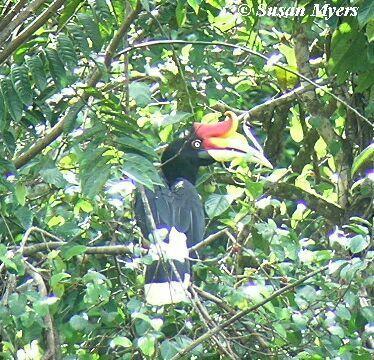 image 3749 of Rhinoceros Hornbill