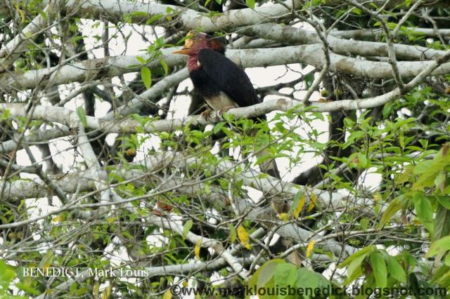 image 3624 of Helmeted Hornbill