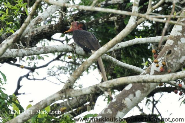 image 3627 of Helmeted Hornbill