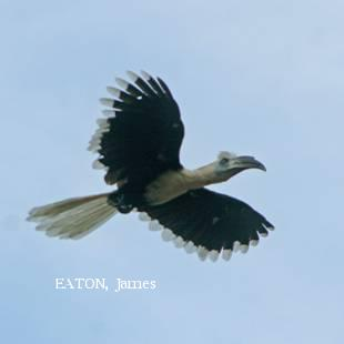 image 2167 of White-crowned Hornbill