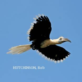 image 2019 of White-crowned Hornbill