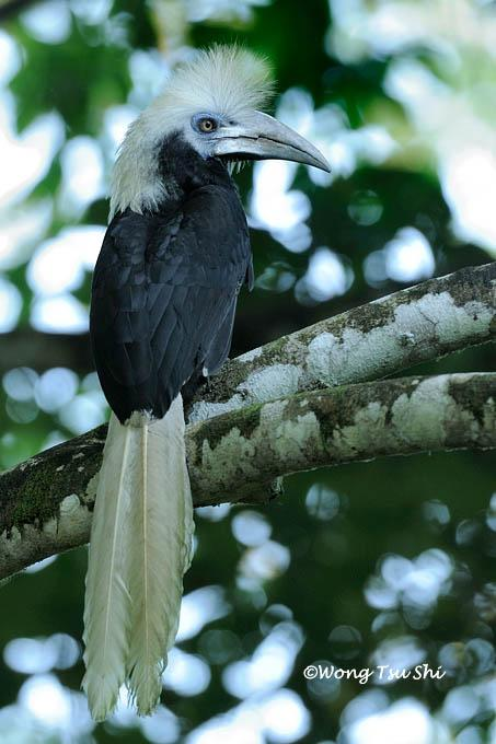 image 890 of White-crowned Hornbill