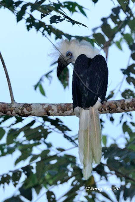 image 623 of White-crowned Hornbill