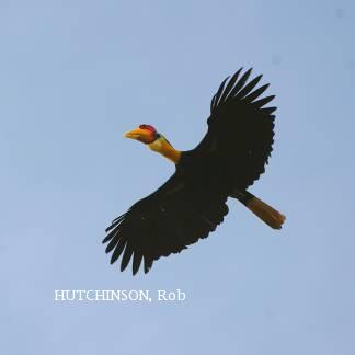 image 2020 of Wrinkled Hornbill