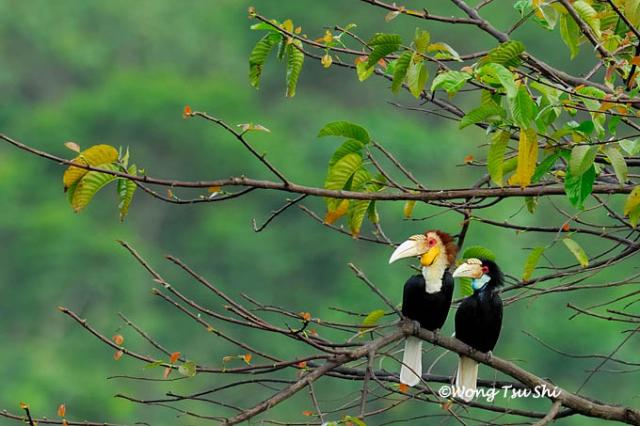 image 389 of Wreathed Hornbill