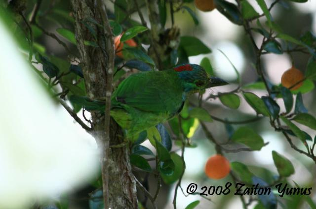 image 3594 of Red-throated Barbet