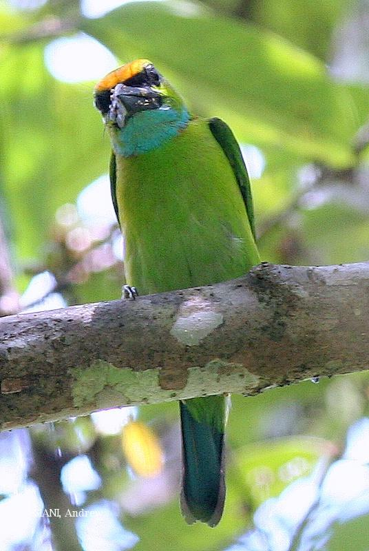 image 3155 of Yellow-crowned Barbet