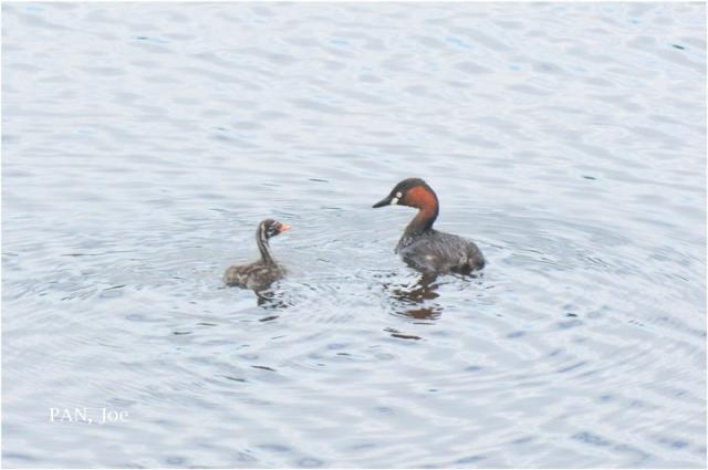 image 8183 of Little Grebe