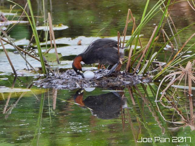 image 8208 of Little Grebe