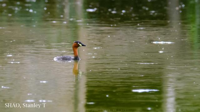 image 7233 of Little Grebe