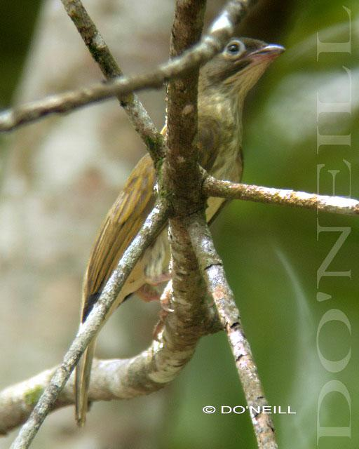 image 6507 of Malaysian Honeyguide