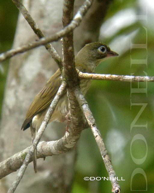 image 6506 of Malaysian Honeyguide