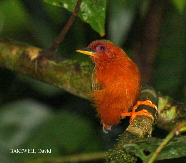 image 4221 of Rufous Piculet