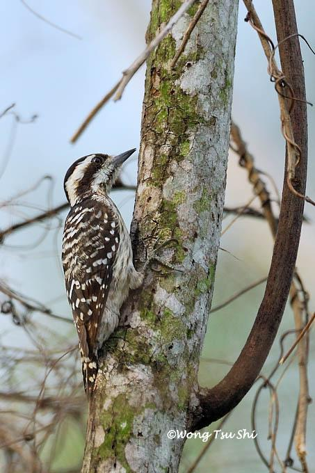image 391 of Brown-capped Woodpecker