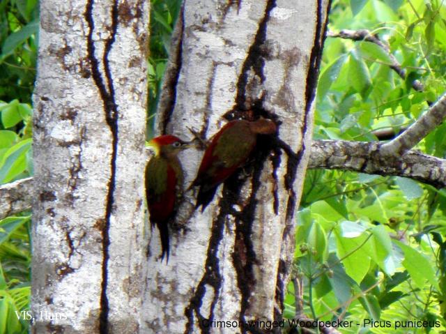 image 5614 of Crimson-winged Woodpecker