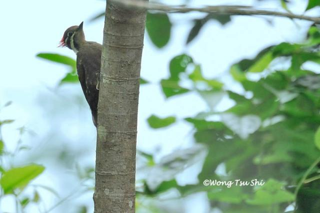 image 632 of Olive-backed Woodpecker