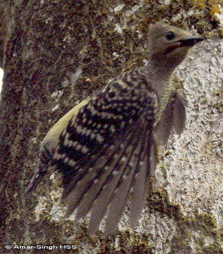 image 4402 of Buff-rumped Woodpecker
