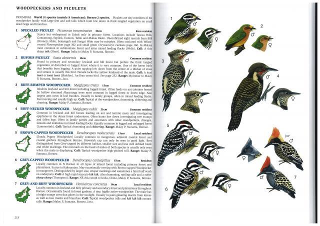 image 2806 of Buff-rumped Woodpecker