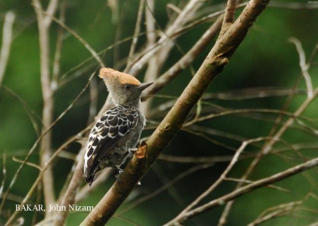 image 5910 of Grey-and-buff Woodpecker