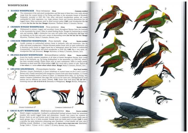 image 2801 of Great Slaty Woodpecker