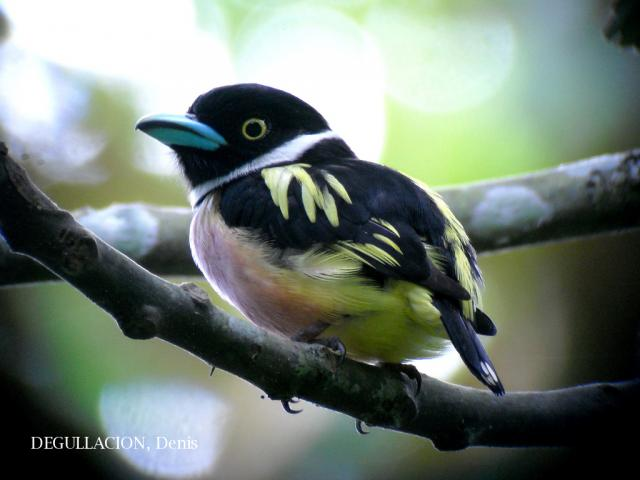 image 5756 of Black-and-Yellow Broadbill