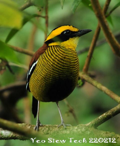 image 6562 of Bornean Banded Pitta