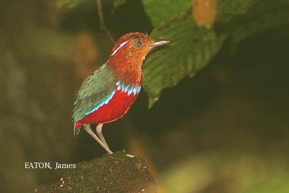 image 2193 of Blue-banded Pitta