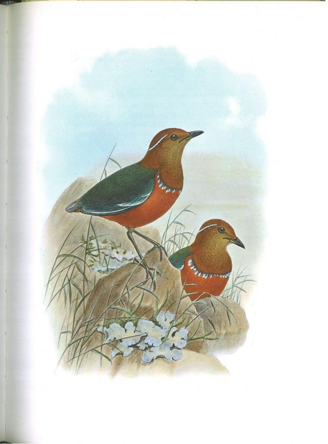 image 5972 of Blue-banded Pitta