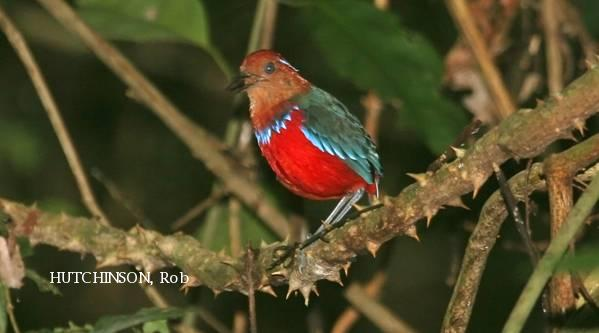 image 2060 of Blue-banded Pitta