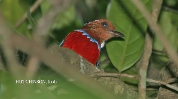image 2061 of Blue-banded Pitta